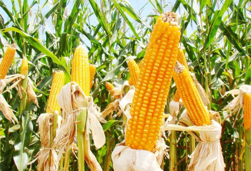 Neve e frio intenso começam a atrasar o plantio de milho nos EUA